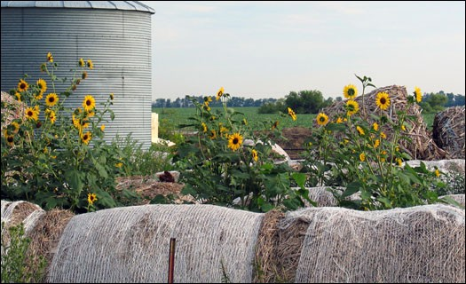 Sunflower_Hay_Rt6_IMG_5030_